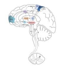 s1 primary somatosensory cortex s2 secondary somatosensory cortex m1 primary motor cortex