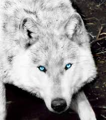 black wolf with blue eyes wallpaper. Beautiful With Amazing Wolves Images Wolf HD Wallpaper And Background Photos And Black Wolf With Blue Eyes Wallpaper E