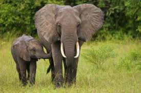 Elephants Earths Largest Land Animals Live Science