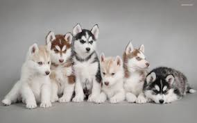 cute siberian husky puppy wallpaper. Fine Puppy Husky Pup Wallpapers HD 10 Screenshot 8 Throughout Cute Siberian Puppy Wallpaper R