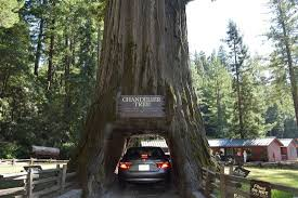 chandelier drive through tree my car in the tree
