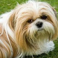 Learn About The <b>Shih Tzu Dog</b> Breed From A Trusted Veterinarian