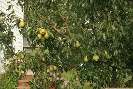 Does All Fruit Grow On Trees  WonderopolisDo All Pear Trees Bear Fruit