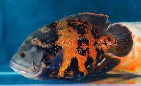 The Complete Oscar Fish Care Guide: Types, Diet, Tank Mates ...