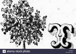 Common Fig Tree Black And White Stock Photos Images Alamy