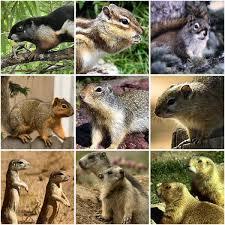 Squirrel Wikipedia