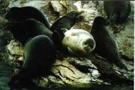 Байкальский тюлень байкальская нерпа pusa sibirica тюлень  байкальская нерпа байкальский тюлень pusa sibirica фото фотография Байкал
