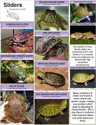 Slider Turtle Specie Id Poster Aquatic Turtles Turtle