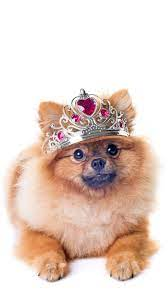 Cute Pomeranian Wallpapers for Android ...