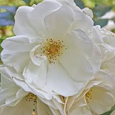 rose rugosa alba species shrub rose rosawhite japanese rose