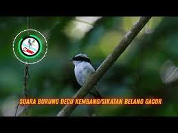 Top decu 2016 masteran decu kembang ngeplong untuk memancing burung kacer & decu bakalan agar gacor top. Download Suara Pikat Burung Decu Kembang