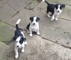 black and white jack russell terrier mix.  Jack Border Collie Jack Russell Mix Puppies On Black And White Terrier