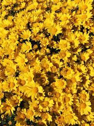 Yellow Rose Aesthetic Desktop Wallpaper ...