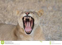 lioness roar front view. Delighful Lioness Download African Lioness Roaring Stock Photo Image Of Frontal  50279750 For Lioness Roar Front View N