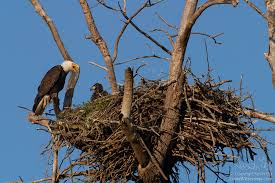 eagles nest size bald eagle adult and chick on nest puyallup washington living