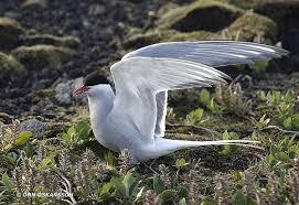 Самые длинные миграции животных расстояния фото Самые длинные  Полярная крачка sterna paradisaea фото новости о животных фотография птицы