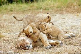 lioness and 4 cubs. Simple Lioness A Lioness Is Given A Rude Awakening From Her Fiesty Cubs In Kenyau0027s Masai  Mara 4 In Lioness And 4 Cubs I