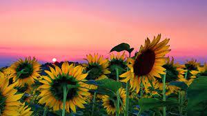 27 Sunflower wallpaper ideas ...