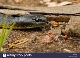 Tiger Snake Notechis Scutatus Highly Venomous Snake