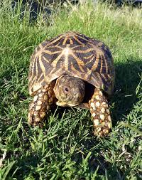 Indian Star Tortoise Diet Chart Indian Star Tortoise Care And Breeding Tips