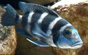 African Cichlid Aggression Chart African Cichlids Aquariumnexus