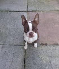 otis the dog. otis the red boston terrier dog from blackpool england