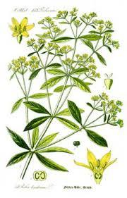 Rubia tinctorum Madder, Dyer's madder PFAF Plant Database