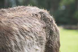 Skin Infection in Horses - Symptoms, Causes, Diagnosis, Treatment ...