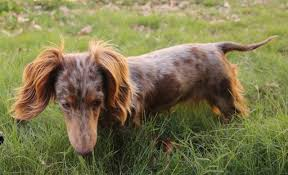 Image result for long-haired dachshund images