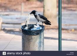 checking bin hooded crow corvus corone cornix corvus cornix checking a rubbish