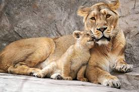 lioness and cub mother lion