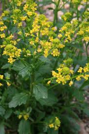Barbarea vulgaris - Michigan Flora