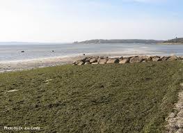 Codium Explosion Off Wareham Buzzards Bay National Estuary