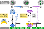 Cell Cycle Regulation Ppt