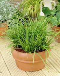 best office plant no sunlight. carex morrowii variegata best office plant no sunlight