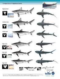 shark identification tips surf and pier fishing ocean city md  shark2 jpg