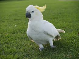 Image result for cockatoo silly