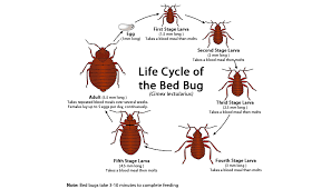 Bedbugs Images Cisr Bed Bugs