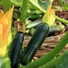 black beauty zucchini summer squash garden seeds 5 lbs bulk non gmo heirloom vegetable gardening seed com