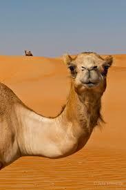 25 best ideas about Camel on Pinterest