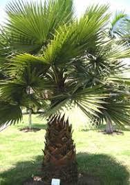 fan palm trees. fan palm trees florida