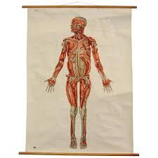 Wall Chart Of Human Anatomy Anatomical Wall Chart Of The Muscles Circa 1960s
