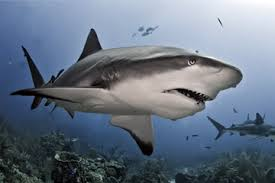 shark. Interesting Shark Unprovoked Shark Attacks Are Extremely Rare But It Pays To Know About  These Much Intended Shark M