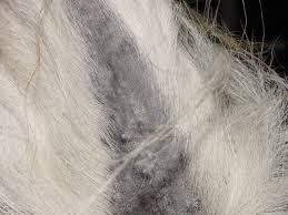 Equine Melanoma Wikipedia