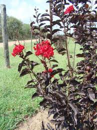 Crape Myrtle Colors Chart Black Diamond Crape Myrtle Comes In Five Colors Home And