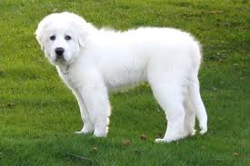Great Pyrenees Puppies For Sale From Reputable Dog Breeders