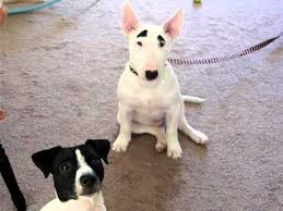 miniature bull terrier mix.  Mix Mini English Bull Terrier And Jack Russell Bullet Intended Miniature Bull Terrier Mix