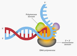 Dna Replication Definition Dna Polymerase Four Key Characteristics For Pcr Thermo Fisher