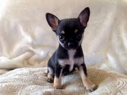 chihuahua puppies 614 304 1534