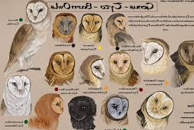 Gallery Of Different Owl Species Pictures On Animal Picture